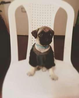 Vendo perrito pug de tres meses vacunado, desparacitado come purina.