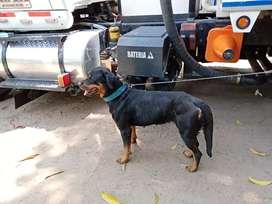 Negocio dos perros rotweiller, una de dos años y adulto de 10 meses