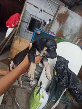 Linda cachorrita disponible tricolor
