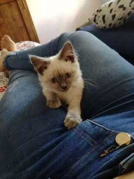 Se vende Gato Siamés esta ubicado en Raquira