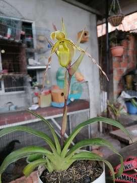 Orquídea zapatilla de venus color verde