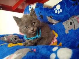 Vendo gatico ruso azul