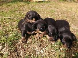 Hermosa cachorritas pincher de 45 días