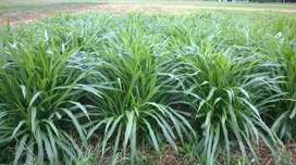 venta de semilla vegetativa de Pasto Cuba 22