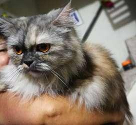 se vende hermosa gata persa