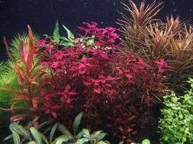 Plantas acuáticas para acuario, nano acuario, paisajismo, Ludwigia mini super red