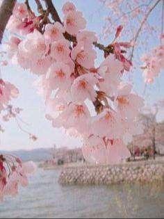 Sakura O Cerezo Japones 10 Semillas Bonsai - Ornamental
