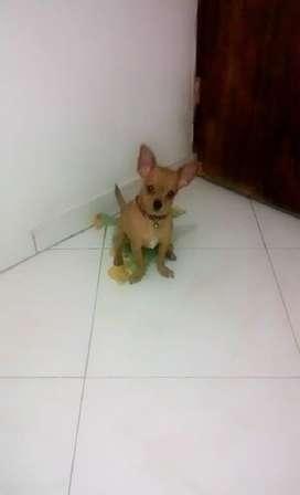 Hermoso Chihuahua, Busca Novia.