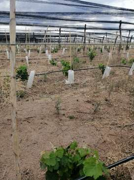 Vendo, financio Viñedo Plantado Con Malbec En El Valle De Uco Mendoza.
