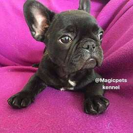 bulldog frances top. de 8 semanas de edad!!