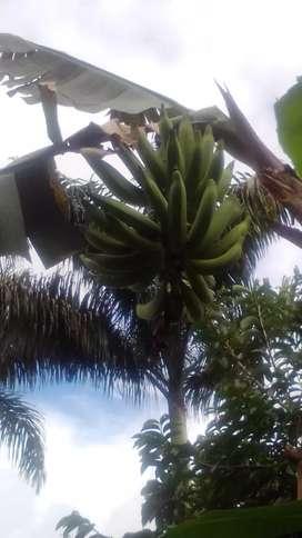 Plátano naranja