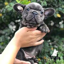 FRENCHIES VENTA BULLDOG FRANCES 60 dias