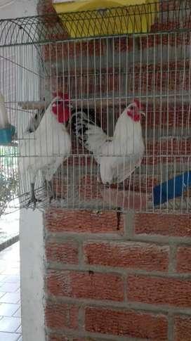 Pollos enanos cruce con sebright
