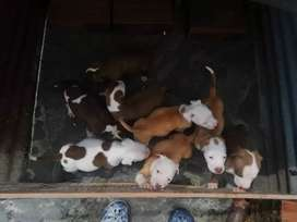 Vendo pitbull stanford hermosos