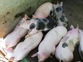 Se Vende Cerdo de Engorde Y Lechones