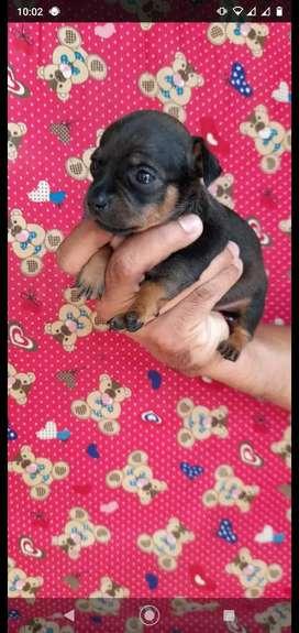 Pincher mini cachorro