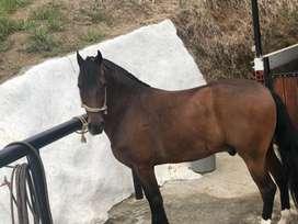 Hermoso caballo capon