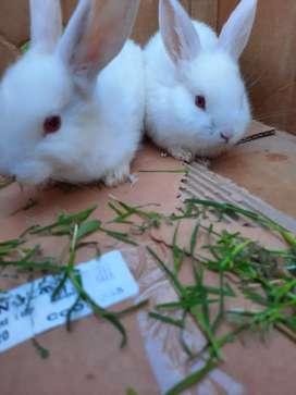 Vendo Hermosos Conejos para mascota