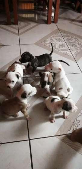 Se venden Cachorros Pitbull Terrier