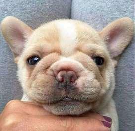 Los mas lindos colores bulldog frances