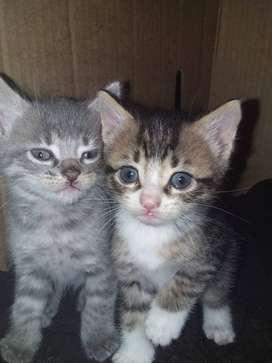Regalo gatitos 2 meses