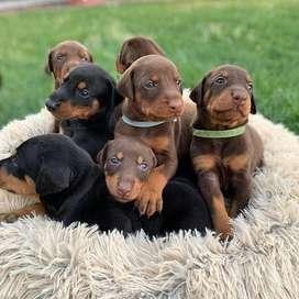 imponentes cachorros doberman