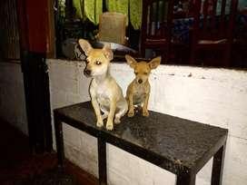 Hermosas Pincher y Chihuahua