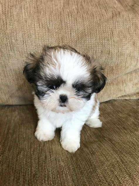 shih tzu perritos hermosos de manto suave como algodón de actitud dulce