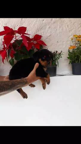 Fuertes Cachorros Rottweile en venta