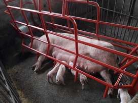 parideras para cerdos jaulas de gestacion