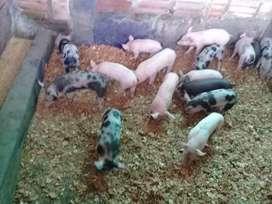 Venta de cerdos destetos