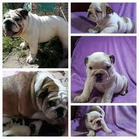 Cachorrita Bulldog Inglés, En Busca De Un Nuevo Hogar (No Adopción)