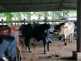 Venta de vacas lecheras