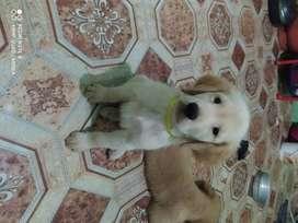 Se vende cachorro Golden retriever de raza pura tiene dos meses de edad.