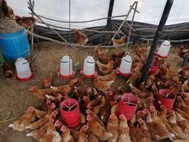 Se vende gallina ponedoras 100 están iniciando a poner huevos van en 80