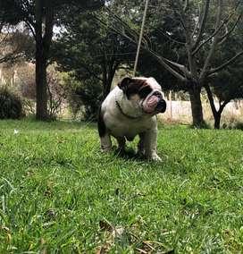 Bulldog Ingles gen Black Tri disponible para montas