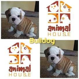 Bulldog Ingles Ref34