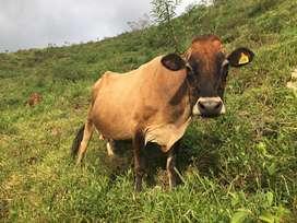 Lote de Vacas Lecheras Jersey y Jerhol