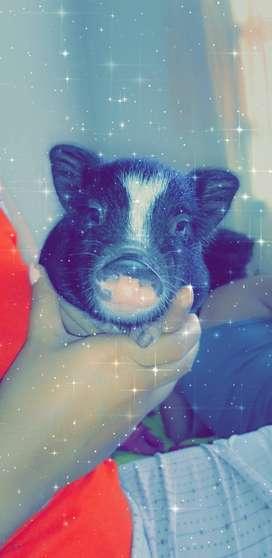 Hermoso mini pig macho