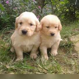 Espectaculares cachorros Golden Retriver
