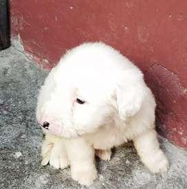 Cachorro viejo pastor ingles