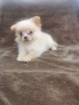 Pomeranias micro y lulú de 2 meses