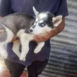 Siberianos husky cachorros