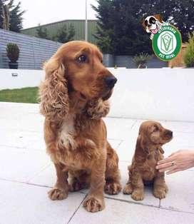Cachorritos Beagle,Bulldog,Doberman,Samoyedo,Yorkshire,Labrador,Golden,pastor,bernardo,shitzu,poodle,pug en PET VIT