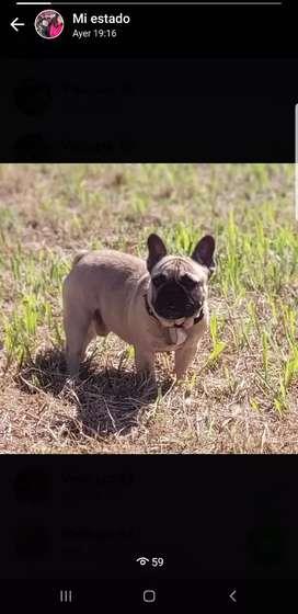 Hermosoo bulldog francés disponible para servicio