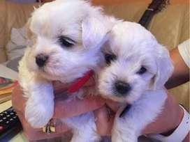 Vendo perros Bichon maltes