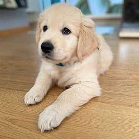 lindos perros golden retriver machos y hembras 59 dias amorsoso perritos bebes