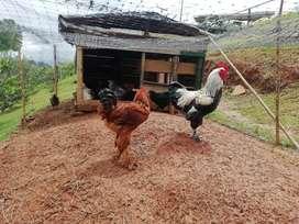 Gallinas criollas, huevos fértiles, padrones