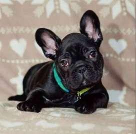 bulldog frances cachorros negritos, 7 semanas de edad.