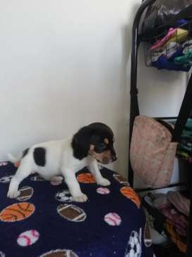 Lindos Jack russell